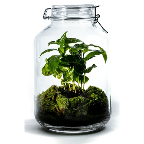 Growing Concepts DIY Sustainable Ecosystem Mason Jar 5L - Coffea Arabica - H28xØ18cm