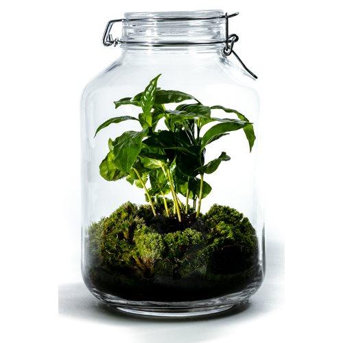 Growing Concepts DIY Sustainable Ecosystem Mason Jar 5L - Coffea Arabica - H28xØ18cm