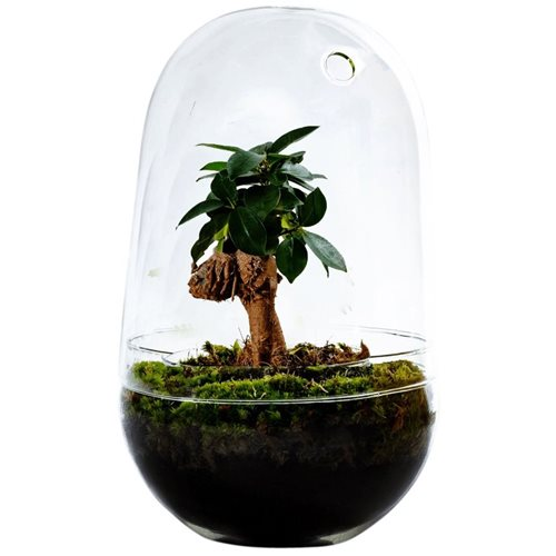 Growing Concepts DIY Sustainable Ecosystem Egg Large - Ficus Ginseng - H30xØ18cm