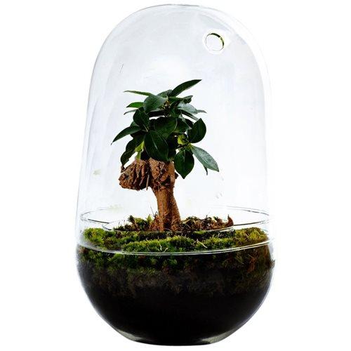 Growing Concepts DIY Nachhaltiges Ökosystem Flaschengarten Egg Large - Ficus Ginseng - H30xØ18cm