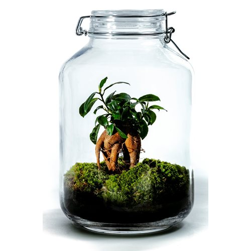 Growing Concepts DIY Sustainable Ecosystem Mason Jar 5L - Ficus Ginseng - H28xØ18cm