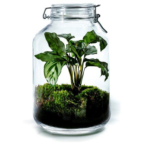 Growing Concepts DIY Sustainable Ecosystem Mason Jar 5L - Calathea - H28xØ18cm