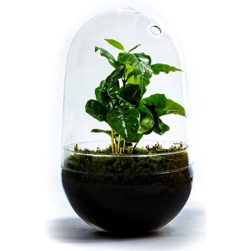 Growing Concepts DIY Sustainable Ecosystem Egg Large - Coffea Arabica - H30xØ18cm