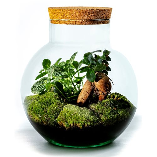 Growing Concepts DIY Sustainable Ecosystem Bolder with Cork - Ficus Ginseng - H30xØ18cm